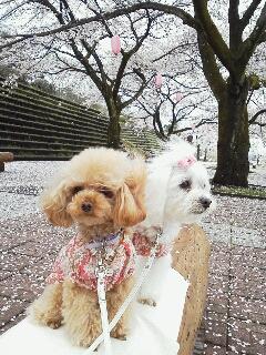 雨あがりの桜♪